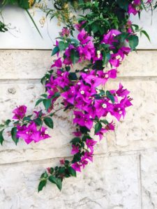 5-11-16 Clematis on street wall German Colony