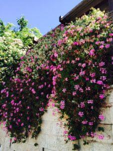 5-11-16 Flowers cascading on wall alongside road