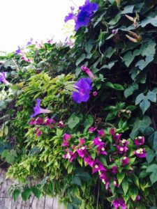 5-16-16 Morning Glory and Bougainville King David Street Jer