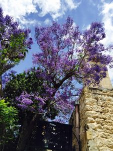 Old City Jacaranda tree 2